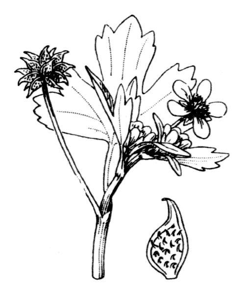Ranunculus muricatus L. - illustration de coste