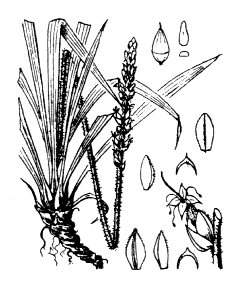 Plantago maritima L. [1753] - illustration de coste