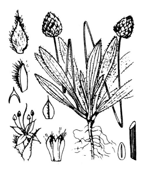 Plantago lagopus L. - illustration de coste