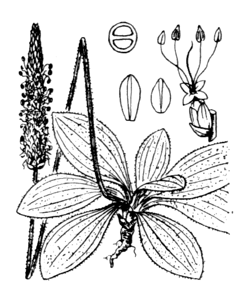 Plantago media L. [1753] - illustration de coste