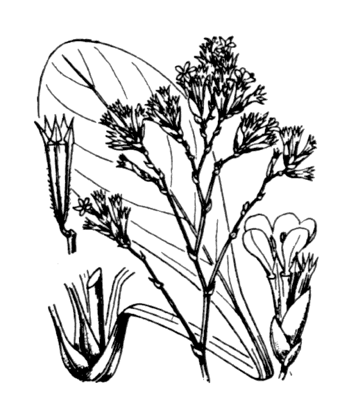 Limonium vulgare Mill. - illustration de coste