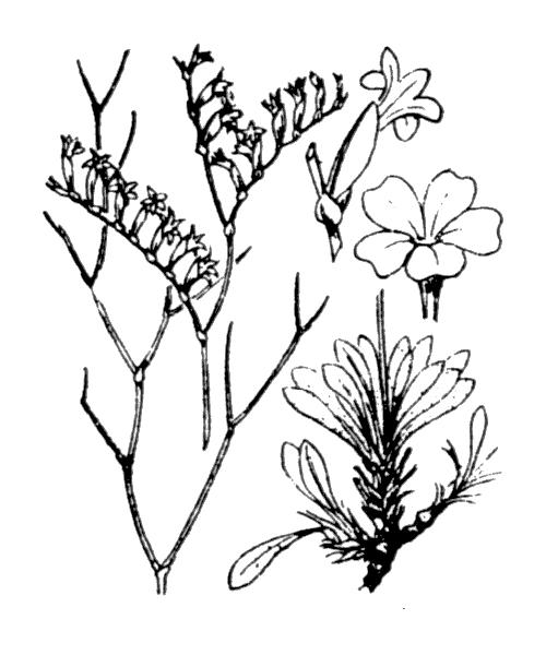 Limonium virgatum (Willd.) Fourr. - illustration de coste