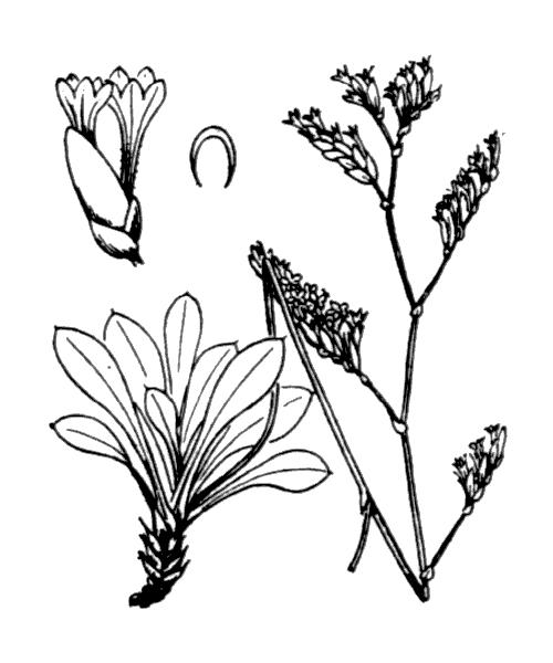 Limonium binervosum (G.E.Sm.) C.E.Salmon - illustration de coste