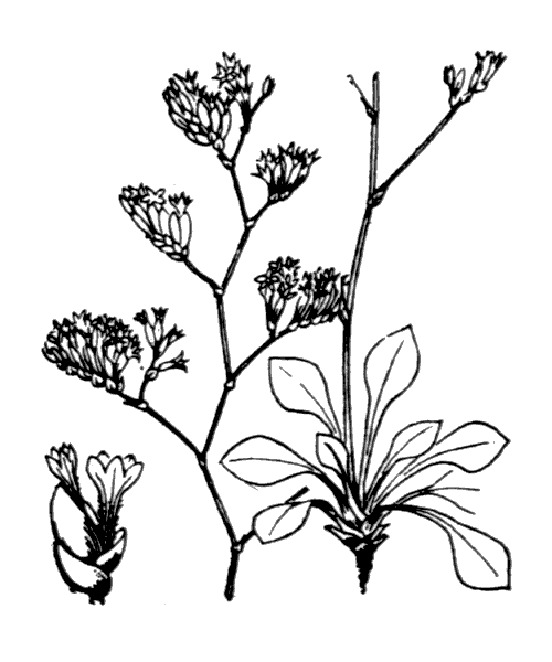 Limonium girardianum (Guss.) Fourr. - illustration de coste