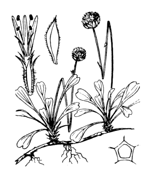 Globularia cordifolia L. - illustration de coste