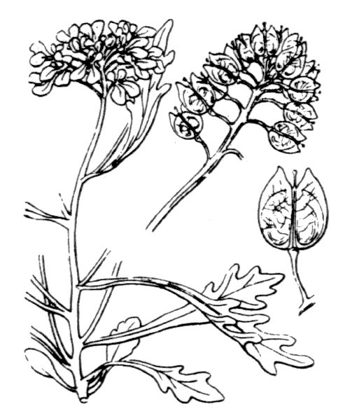 Iberis amara L. - illustration de coste