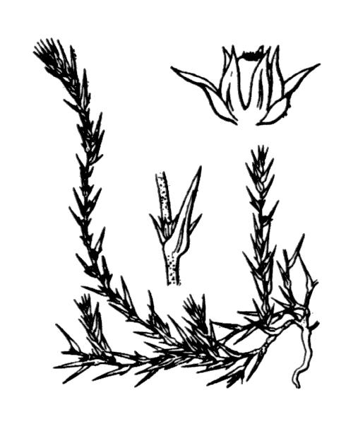 Polycnemum arvense L. - illustration de coste