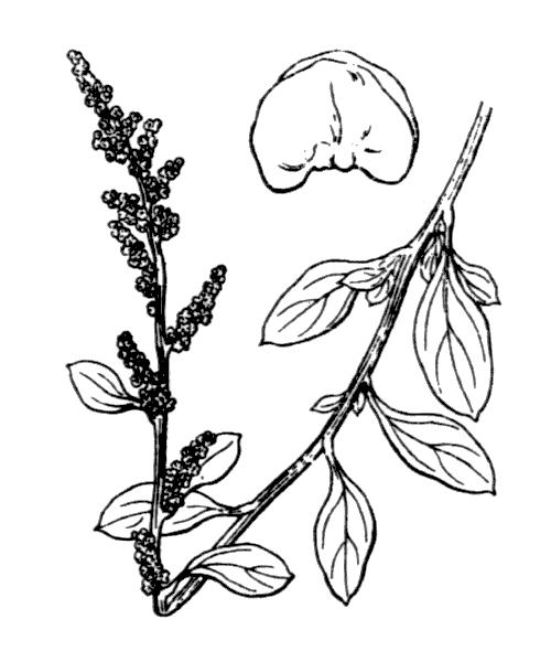 Atriplex halimus L. - illustration de coste