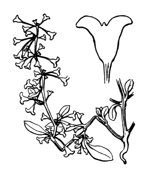 Halimione pedunculata (L.) Aellen - illustration de coste