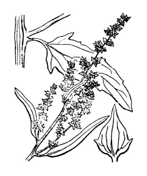 Atriplex patula L. - illustration de coste