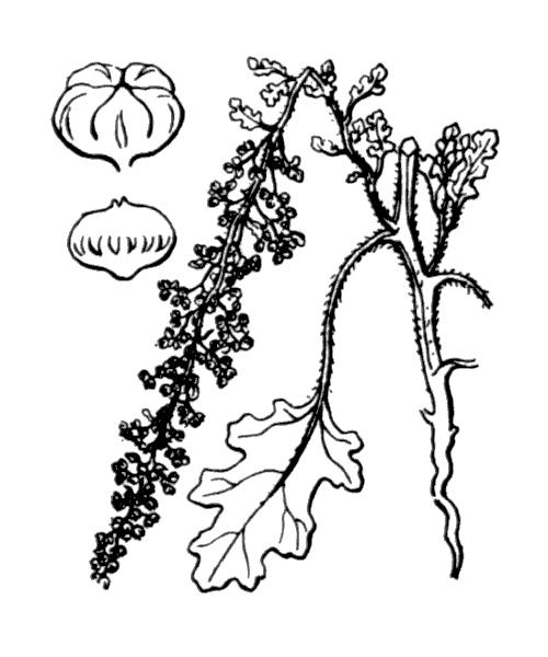 Dysphania botrys (L.) Mosyakin & Clemants - illustration de coste