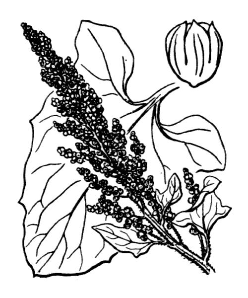 Blitum bonus-henricus (L.) Rchb. - illustration de coste