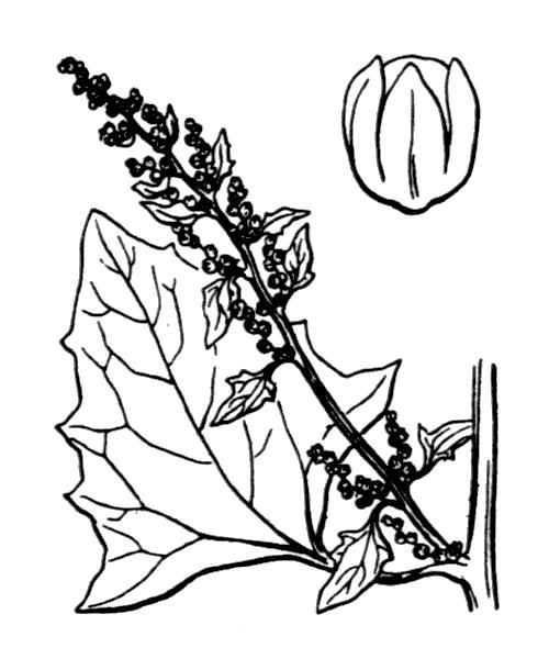 Oxybasis rubra (L.) S.Fuentes, Uotila & Borsch [2012] - illustration de coste