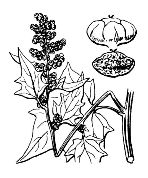 Chenopodiastrum hybridum (L.) S.Fuentes, Uotila & Borsch - illustration de coste