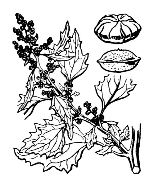 Chenopodiastrum murale (L.) S.Fuentes, Uotila & Borsch - illustration de coste