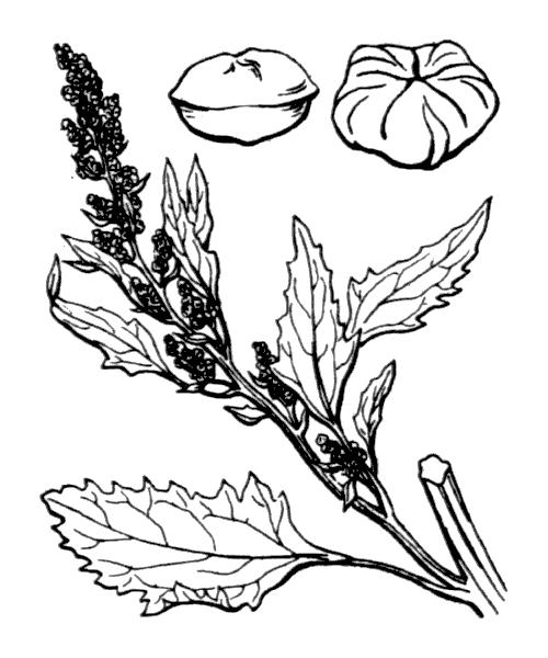 Chenopodium album L. - illustration de coste