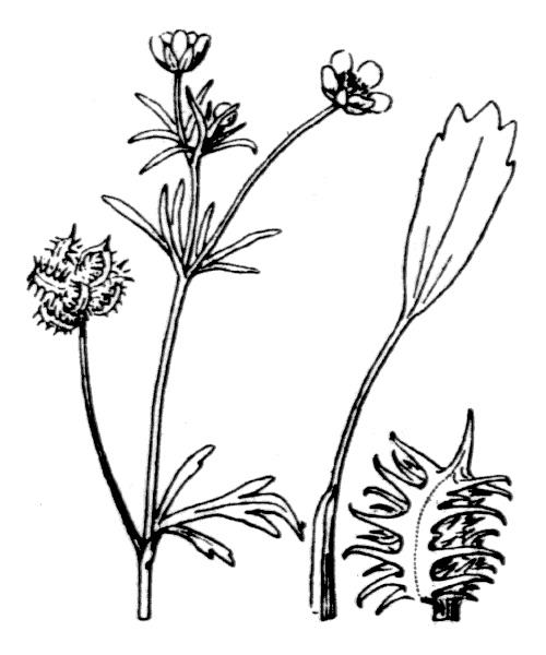 Ranunculus arvensis L. - illustration de coste