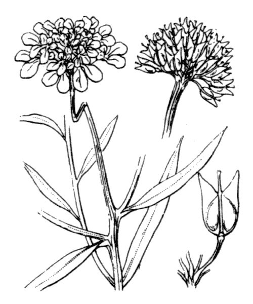 Iberis umbellata L. - illustration de coste
