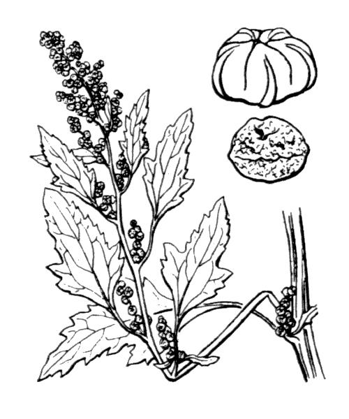 Chenopodium ficifolium Sm. - illustration de coste