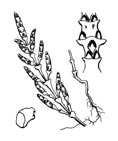 Salicornia europaea L. - illustration de coste