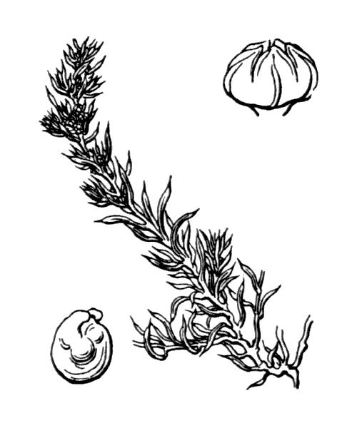 Suaeda splendens (Pourr.) Gren. & Godr. - illustration de coste