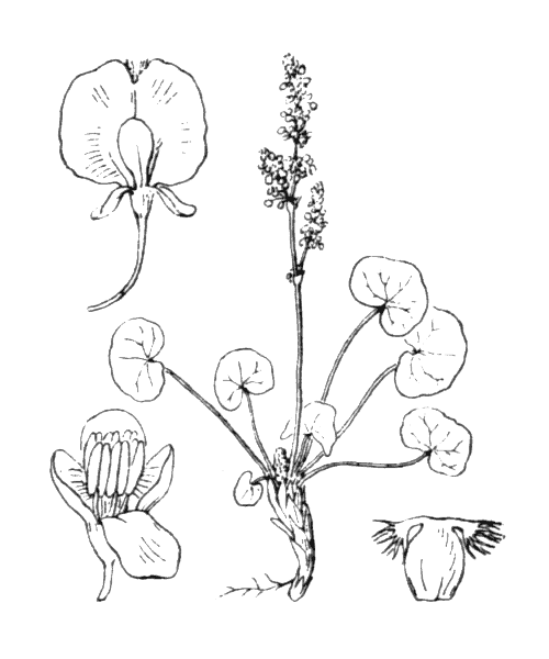 Oxyria digyna (L.) Hill - illustration de coste