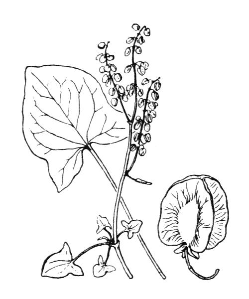 Rumex scutatus L. - illustration de coste