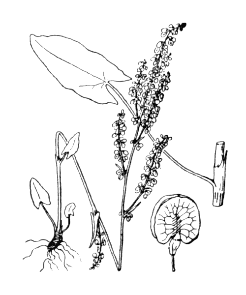 Rumex acetosa L. - illustration de coste