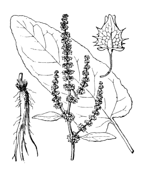 Rumex obtusifolius L. - illustration de coste
