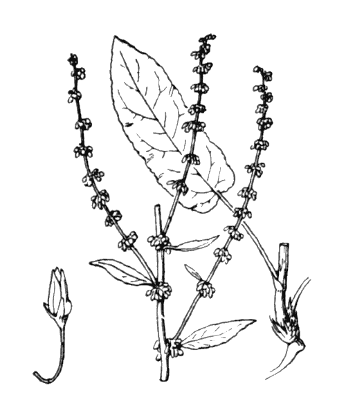 Rumex sanguineus L. [1753] - illustration de coste
