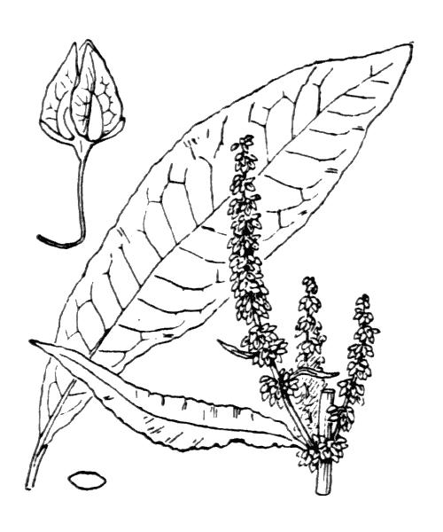 Rumex hydrolapathum Huds. [1778] - illustration de coste