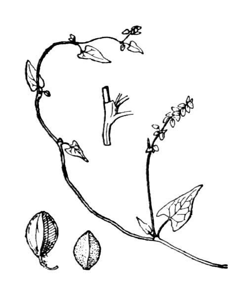 Fallopia convolvulus (L.) Á.Löve var. convolvulus - illustration de coste