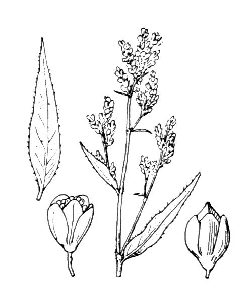 Aconogonon alpinum (All.) Schur - illustration de coste