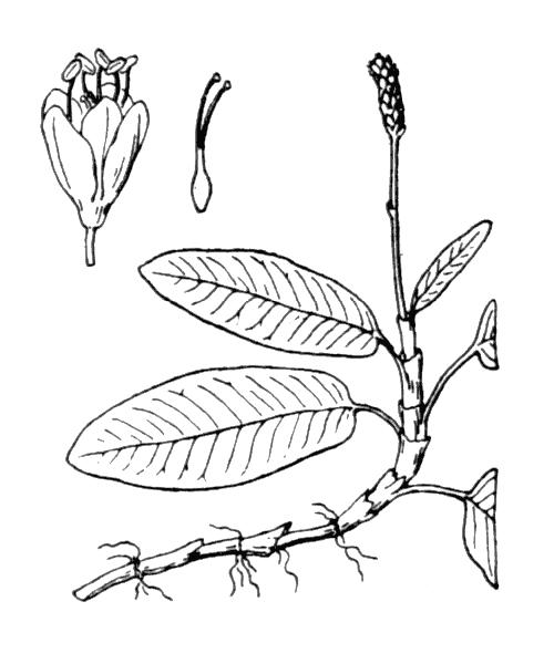 Persicaria amphibia (L.) Gray - illustration de coste