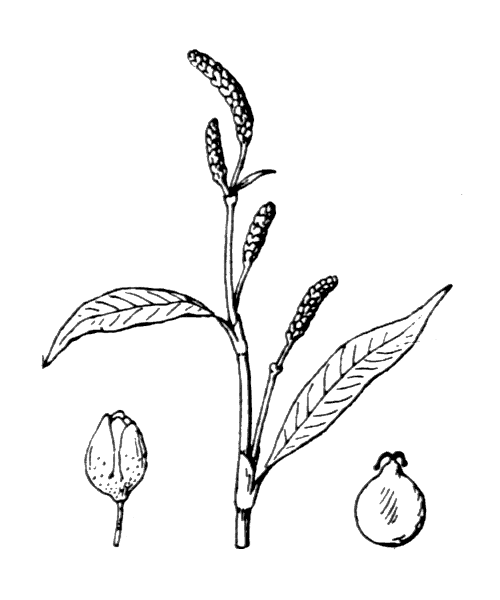 Persicaria lapathifolia (L.) Delarbre - illustration de coste