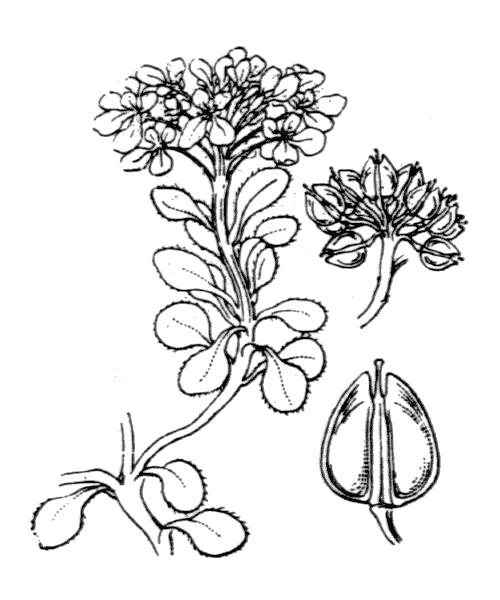 Iberis spathulata J.P.Bergeret ex DC. - illustration de coste