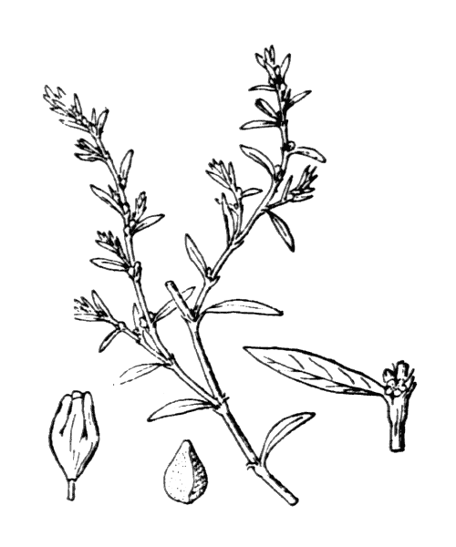 Polygonum aviculare L. - illustration de coste