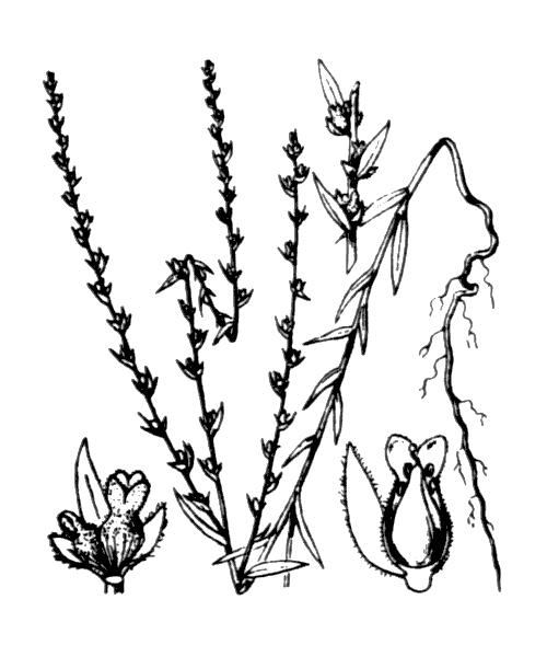 Thymelaea passerina (L.) Coss. & Germ. - illustration de coste