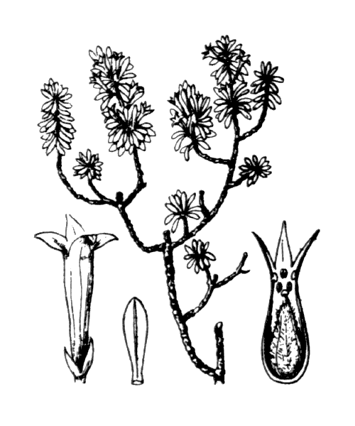 Thymelaea dioica (Gouan) All. [1789] - illustration de coste