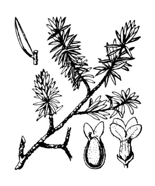 Thymelaea calycina (Lapeyr.) Meisn. [1857] - illustration de coste