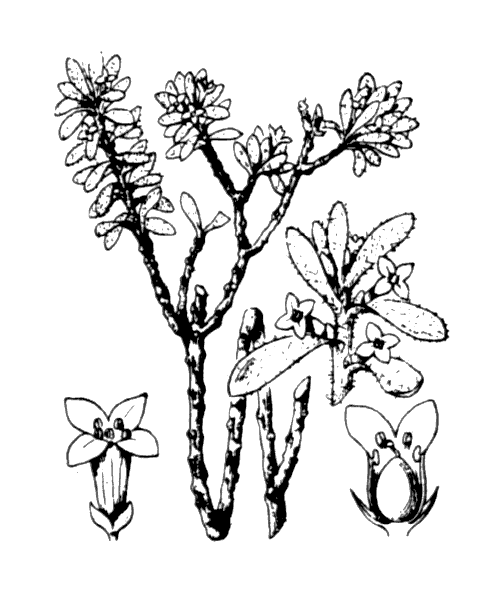 Thymelaea tinctoria (Pourr.) Endl. subsp. tinctoria - illustration de coste