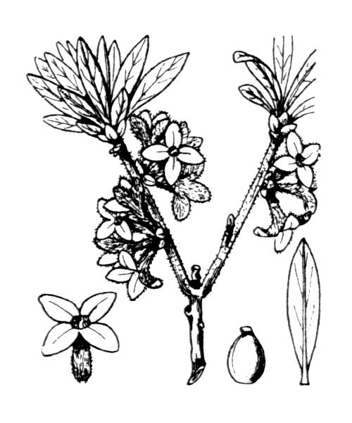 Daphne mezereum L. - illustration de coste