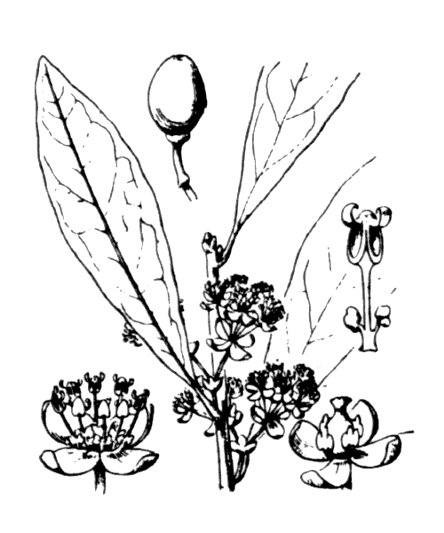 Laurus nobilis L. - illustration de coste