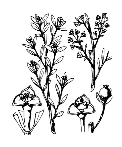 Osyris alba L. - illustration de coste