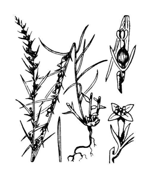 Thesium alpinum L. - illustration de coste