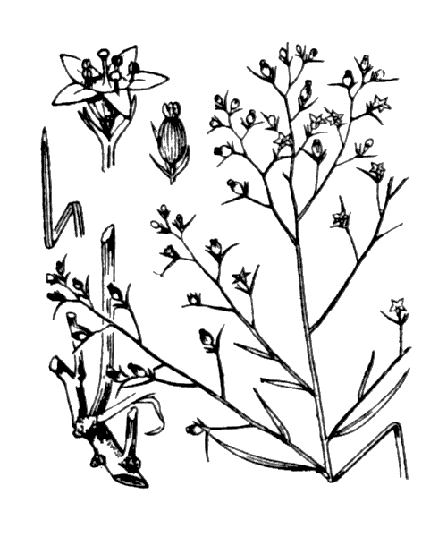 Thesium humifusum subsp. divaricatum (Jan ex Mert. & W.D.J.Koch) Bonnier & Layens - illustration de coste
