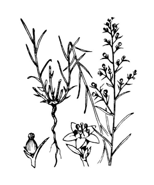 Thesium humifusum DC. subsp. humifusum - illustration de coste