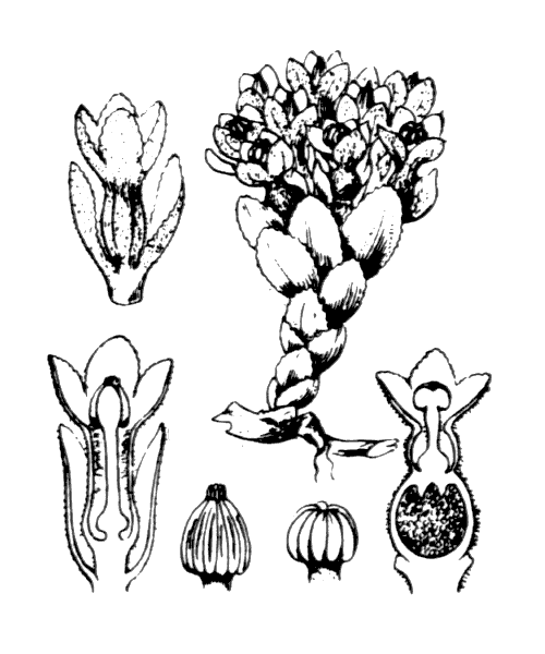 Cytinus hypocistis (L.) L. - illustration de coste
