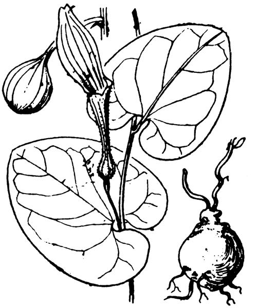 Aristolochia rotunda L. - illustration de coste