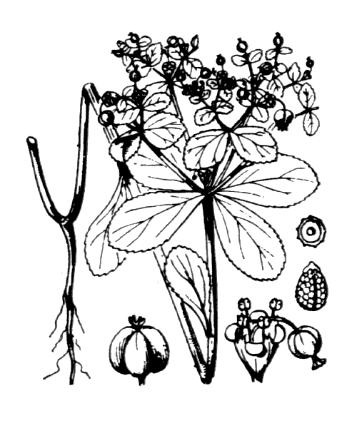 Euphorbia helioscopia L. - illustration de coste